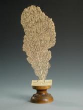 Ernyős kéregkorall ((Rhyidigorgia umbella))